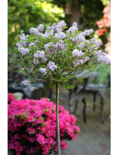 Meyers Flieder, Syringa meyeri »Palibin«, Blütenfarbe lila