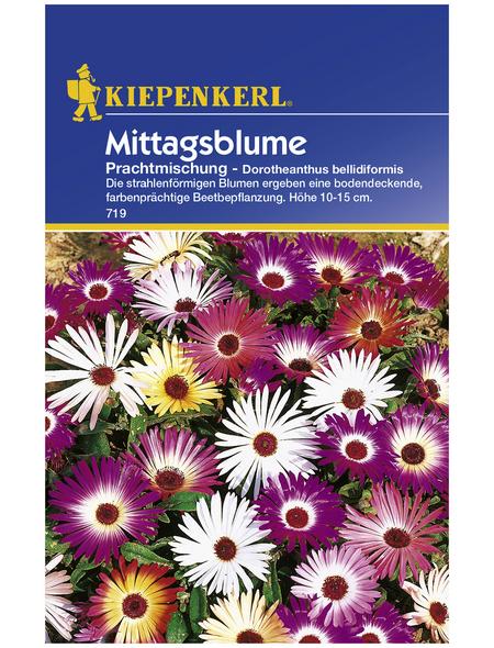 KIEPENKERL Mittagsblume, Dorotheanthus bellidiformis, Samen, Blüte: mehrfarbig