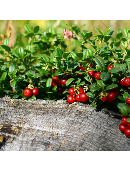 GARTENKRONE Moosbeere, Vaccinium macrocarpon, Früchte: rot, essbar
