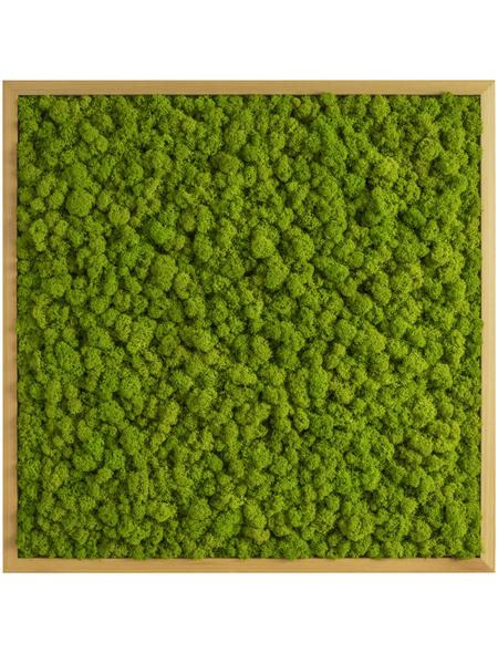 Moosbild Eichenrahmen Islandmoos Apfelgrün, BxHxT: 55 x 55 x 6  cm