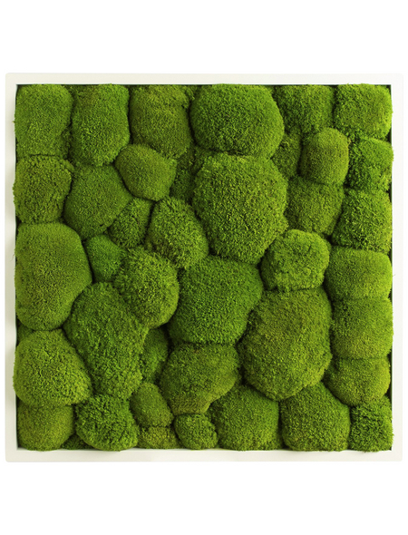 Moosbild weißer Rahmen Ballenmoos Apfelgrün, BxHxT: 55 x 55 x 6  cm