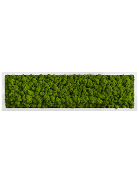 Moosbild weißer Rahmen Islandmoos Apfelgrün, BxHxT: 20 x 70 x 6  cm