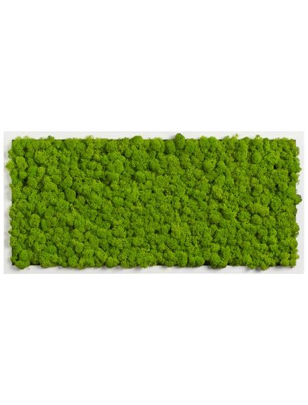 Moosbild weißer Rahmen Islandmoos Apfelgrün, BxHxT: 57 x 27 x 6  cm