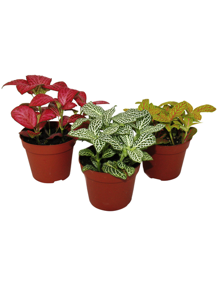 Mosaikpflanze 3er Set, Fittonia , Topf-Ø: 9cm
