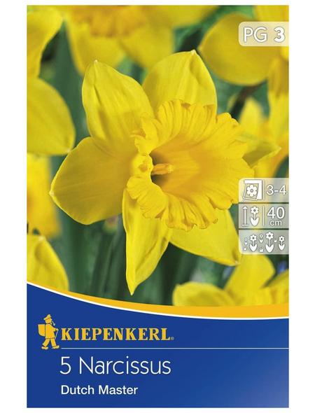KIEPENKERL Narzisse Dutch Master, Gelb, 5 Blumenzwiebeln