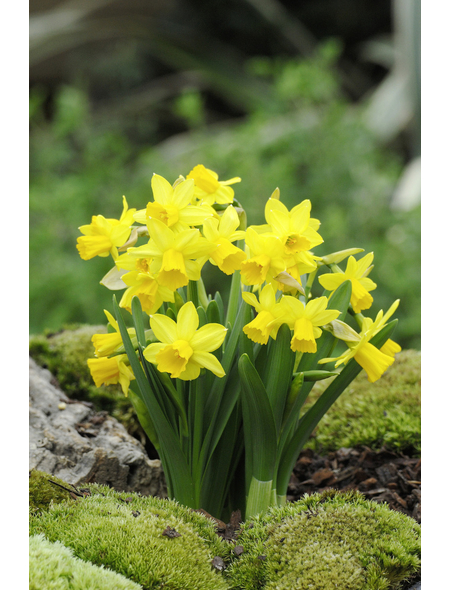 Narzisse, Narcissus cyclamineus »Tete a Tete«, Höhe bis 20 cm