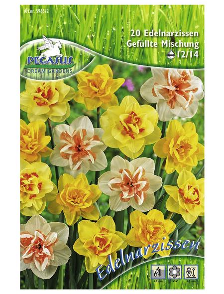 PEGASUS Narzisse pseudonarcissus Narcissus