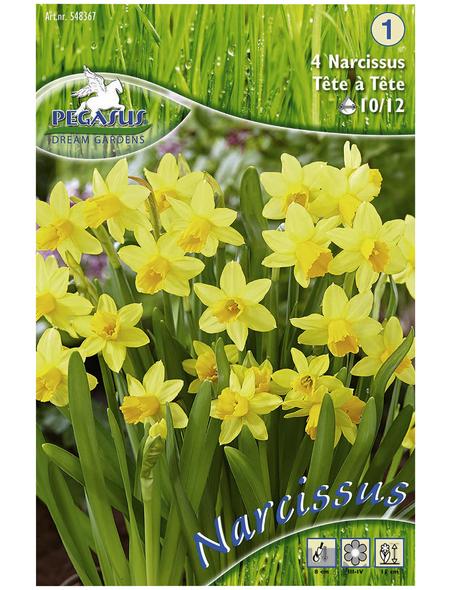 KIEPENKERL Narzisse pseudonarcissus Narcissus