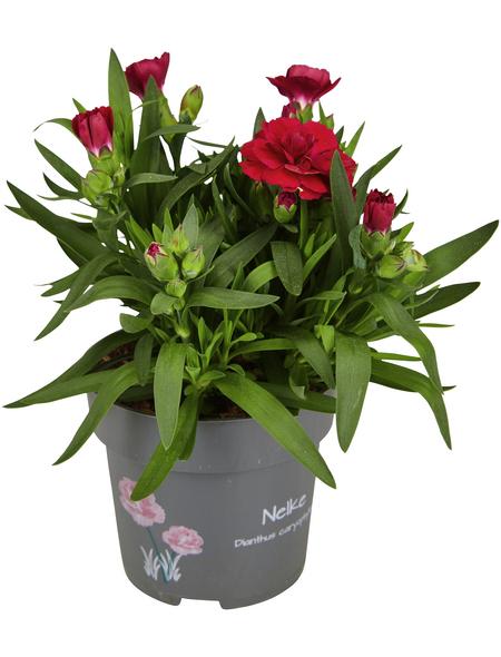 GARTENKRONE Nelke Dianthus caryophyllus 'SuperTrouper®'