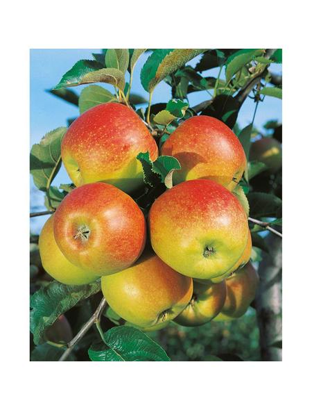 GARTENKRONE Obstbaum »Apfel«, Creme