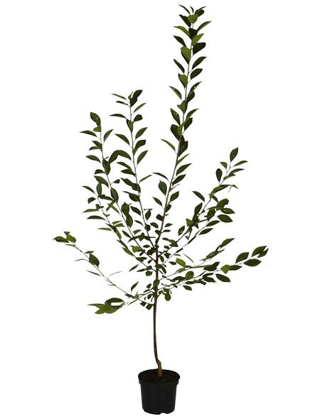 GARTENKRONE Obstbaum »Sauerkirsche«, Weiß