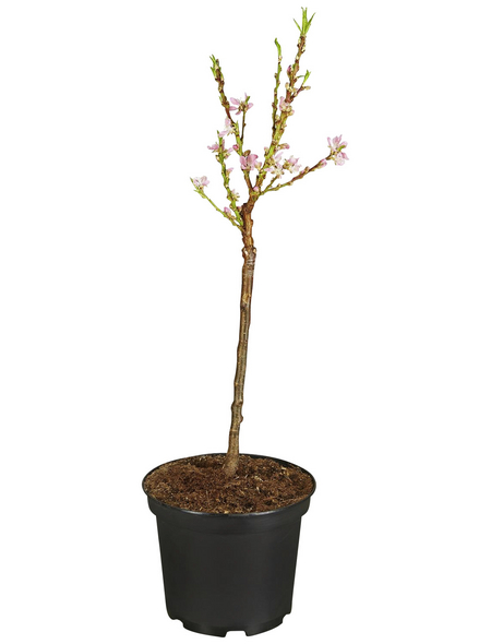 GARTENKRONE Obstbaum »Zwergnektarine«, Creme