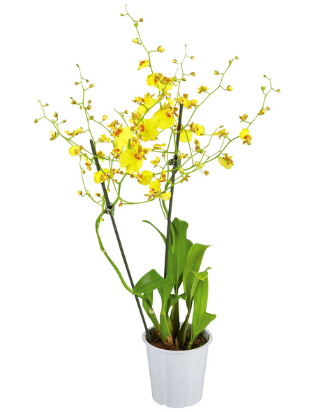 GARTENKRONE Oncidie Oncidium hybrid