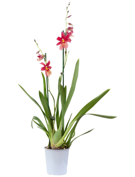 Orchidee, Cambria Nelly Isler, Blüte: rot, mit 2 Trieben