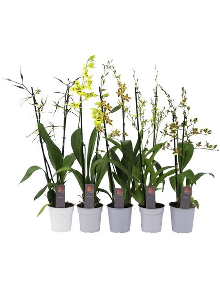 Orchideen Botanik Mix, Orchideen in Sorten, Blüte: orange