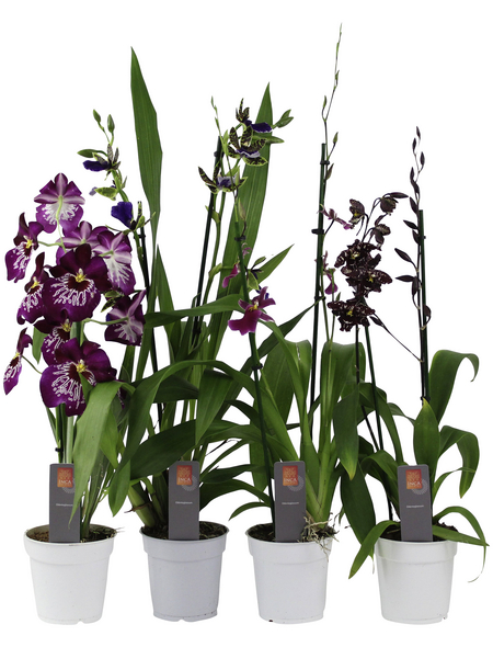 Orchideen Botanik Mix, Orchideen in Sorten, Blüte: violett