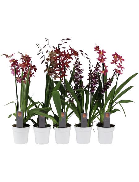 Orchideen Botanik Mix, Orchideen in Sorten »Botanik-Mix«, Blüte: rosa