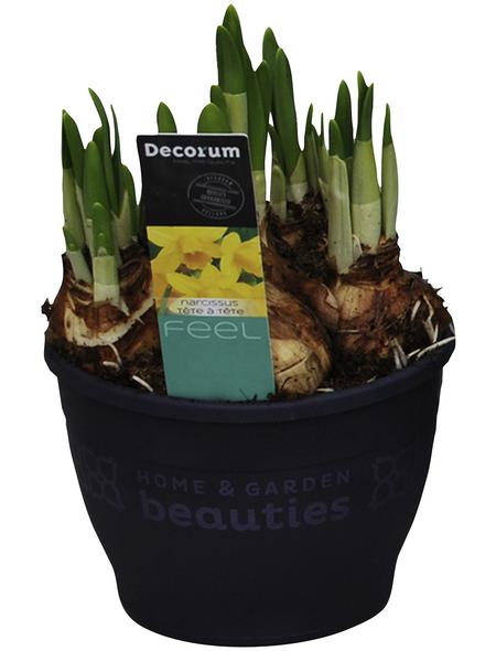 Osterglocke, Narcissus hybriden »Tete a Tete«, Blütenfarbe: gelb