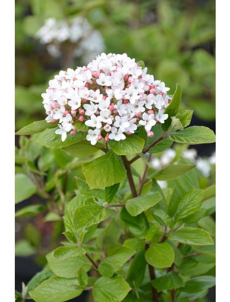 GARTENKRONE Osterschneeball Viburnum burkwoodii »Anne Russel«