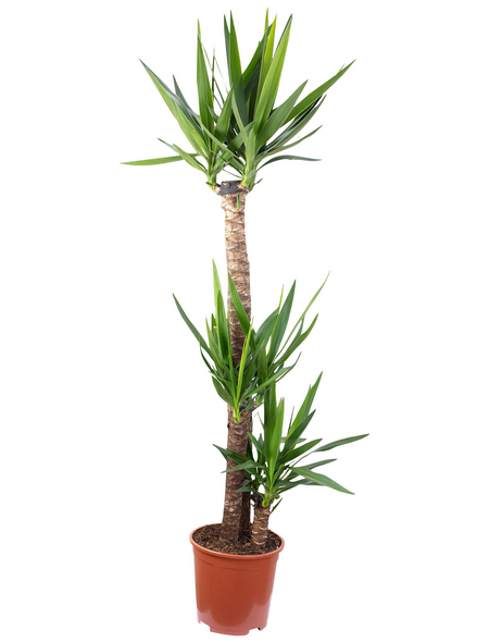 Palmlilie Yucca elephantipes