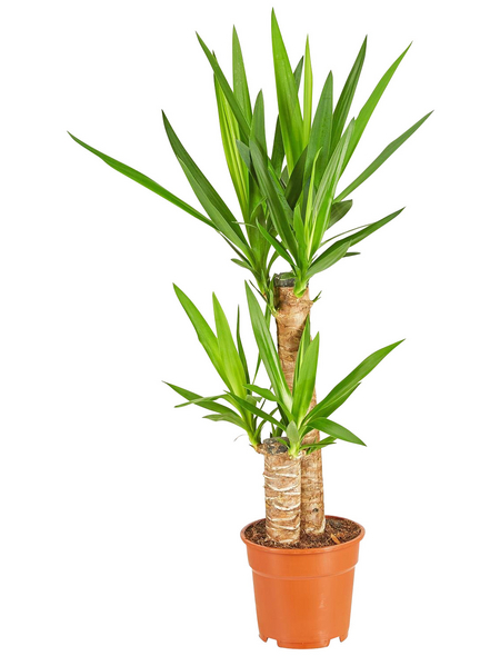 GARTENKRONE Palmlilie, Yucca elephantipes, im Kunststoff-Kulturtopf