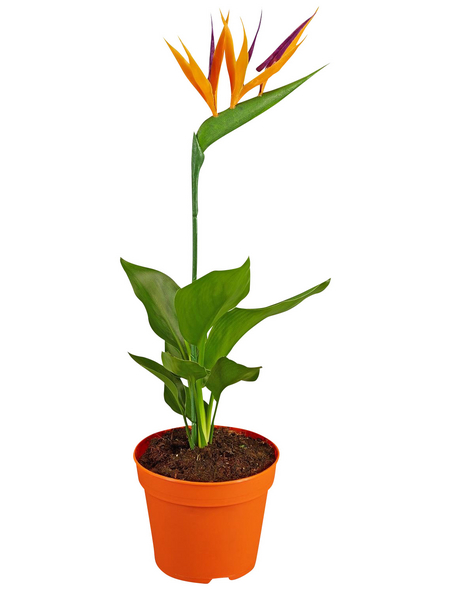 GARTENKRONE Paradiesvogelblume, Strelitzia reginae »Kunstblüte«, Blüte: orange