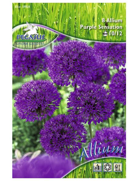 PEGASUS Pegasus Allium Purple Sensation, Lila, 8 Stück