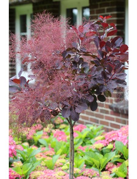 Perückenstrauch, Royal Purple coggygria »Cotinus«, Blütenfarbe rosa