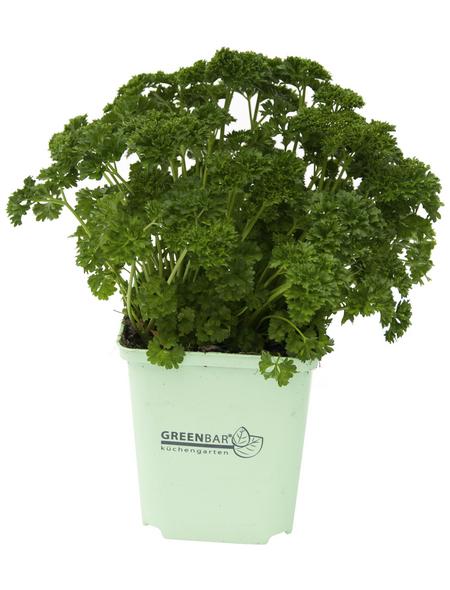 GREENBAR Petersilie 3er Set, Petroselinum Crispum, Blütenfarbe: weiß