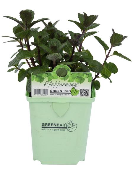 GREENBAR Pfefferminze 3er Set, Mentha spicata v. crispa, Blütenfarbe: helllila