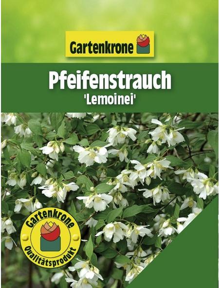 GARTENKRONE Pfeifenstrauch, Philadelphus »Lemoinei«, weiß, winterhart