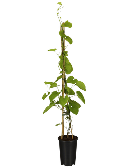 GARTENKRONE Pfeifenwinde Aristolochia macrophylla