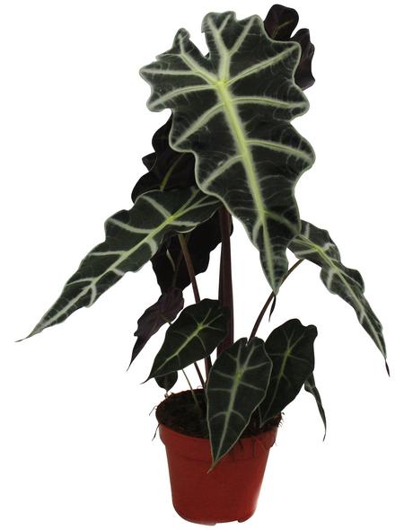 Pfeilblatt Alocasia amazonica »Polly«