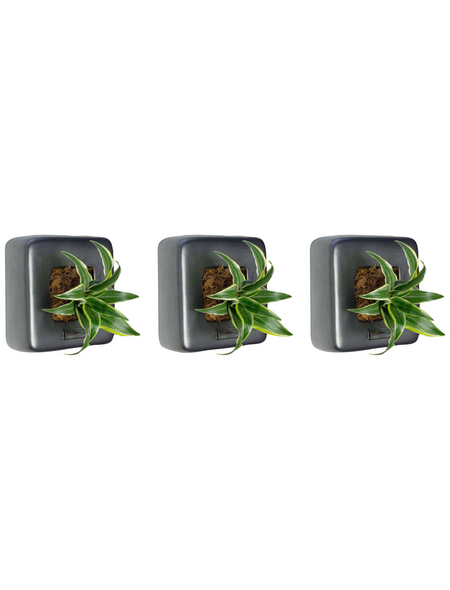 Pflanzen in Keramik 3er-Set, BxHxT: 16 x 16 x 22 cm, grau