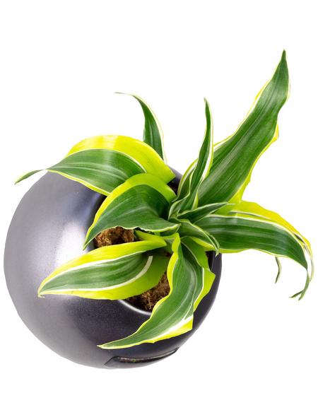 Pflanzen in Keramik Ball, anthrazit, BxHxT: 12 x 12 x 22  cm