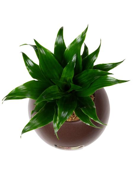 Pflanzen in Keramik Ball, braun, BxHxT: 12 x 12 x 22  cm