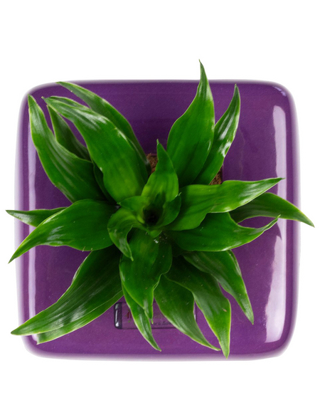 Pflanzen in Keramik, BxHxT: 16 x 16 x 22 cm, lila