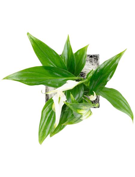 flowerbox Pflanzenbild, BxHxT: 17 x 17 x 6 cm, weiß