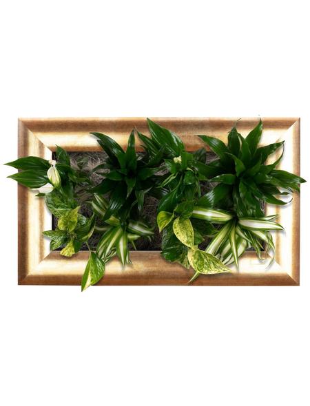 Pflanzenbild Pflanzenbild »Flowerwall« , max. Wuchshöhe: 40  cm, mehrjährig