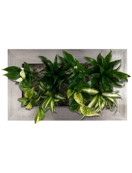 Pflanzenbild Pflanzenbild »Flowerwall«, max. Wuchshöhe: 40  cm, mehrjährig