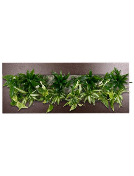 Pflanzenbild Pflanzenbild »Flowerwall« Premium, max. Wuchshöhe: 40  cm, mehrjährig