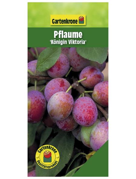 GARTENKRONE Pflaume, Prunus domestica »Königin Viktoria«, Früchte: süß-säuerlich, zum Verzehr geeignet