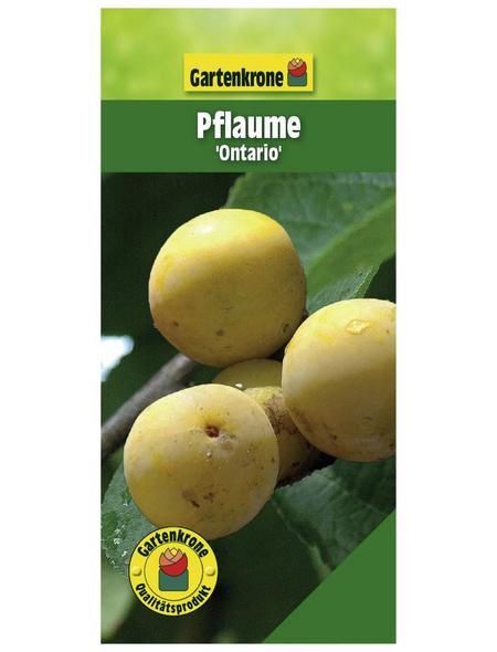 GARTENKRONE Pflaume, Prunus domestica »Ontario«, Früchte: süß-säuerlich, zum Verzehr geeignet