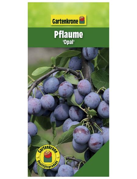 GARTENKRONE Pflaume, Prunus domestica »Opal«, Früchte: süß-säuerlich, zum Verzehr geeignet