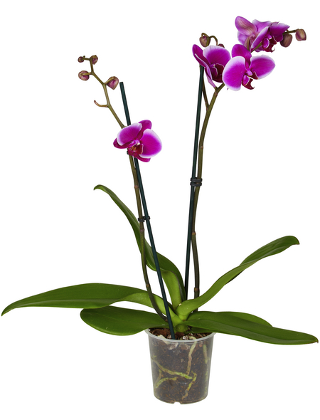 GARTENKRONE Phalaenopsis
