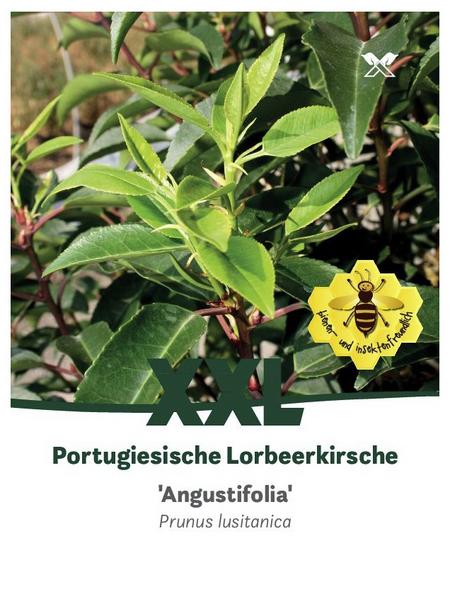 Portugesiche Lorbeerkische, Prunus lusitanica »Angustifolia«, Blütenfarbe weiß