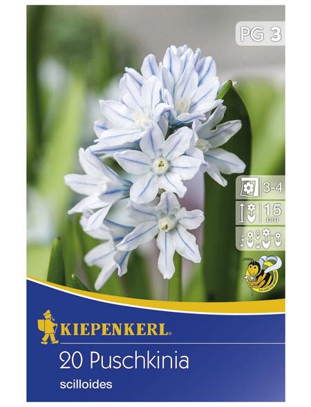 KIEPENKERL Porzellanblümchen scilloides Puschkinia