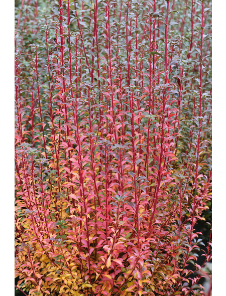 Prachtglocke, Enkianthus camanulatus, Blütenfarbe rosa