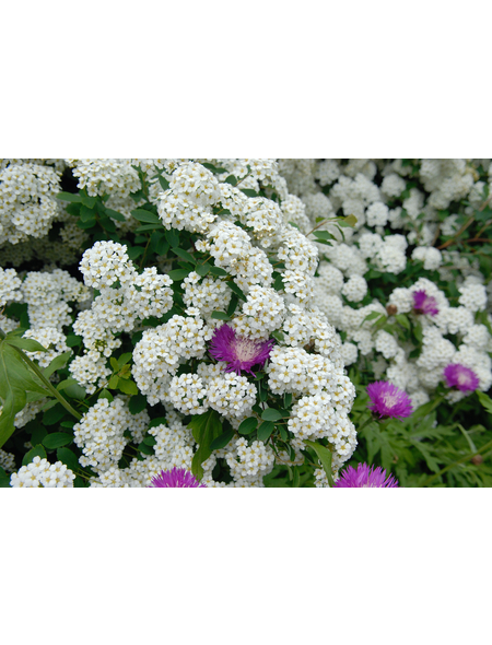 GARTENKRONE Prachtspiere, Spiraea vanhouttei, Blütenfarbe weiß