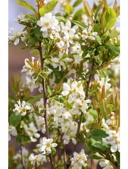 Prunkspiere, Exochorda serratifolia »Snow White«, Blütenfarbe weiß